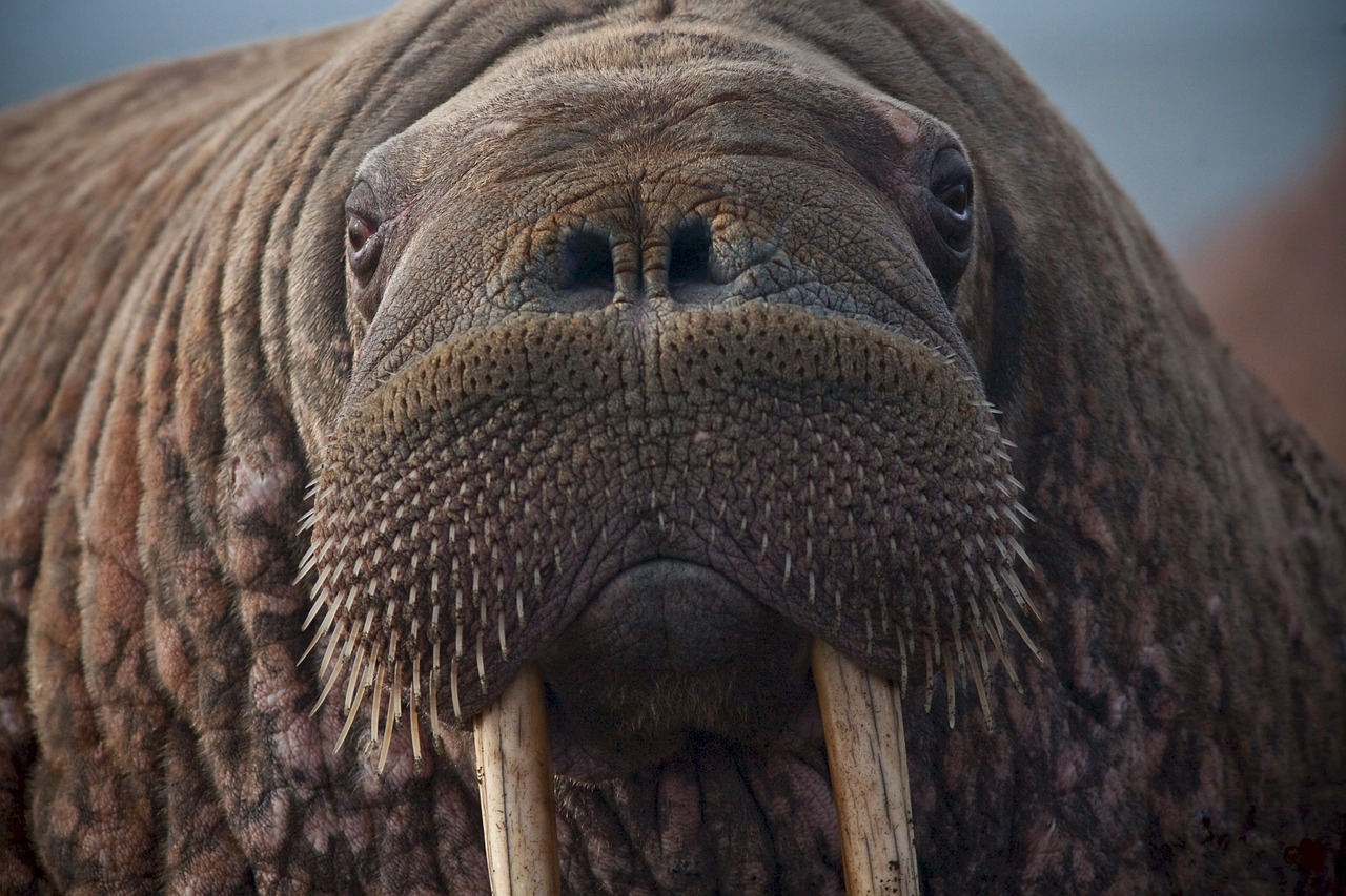 Les Vikings du Groenland victimes d'avoir trop chassé le morse