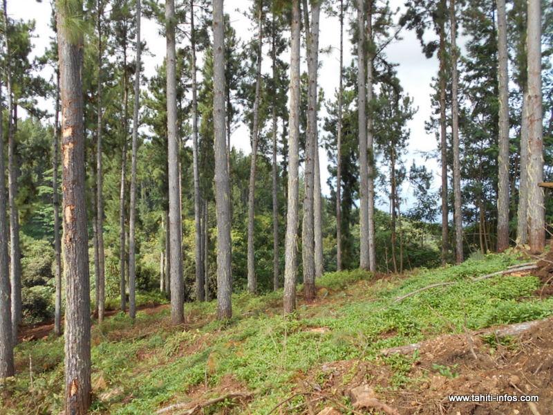 L'exploitation des massifs domaniaux ou privés de Pinus à Tahiti, Moorea, Raiatea, Hiva Oa et Tubuai couvre actuellement environ 5% des besoins en bois du marché local.