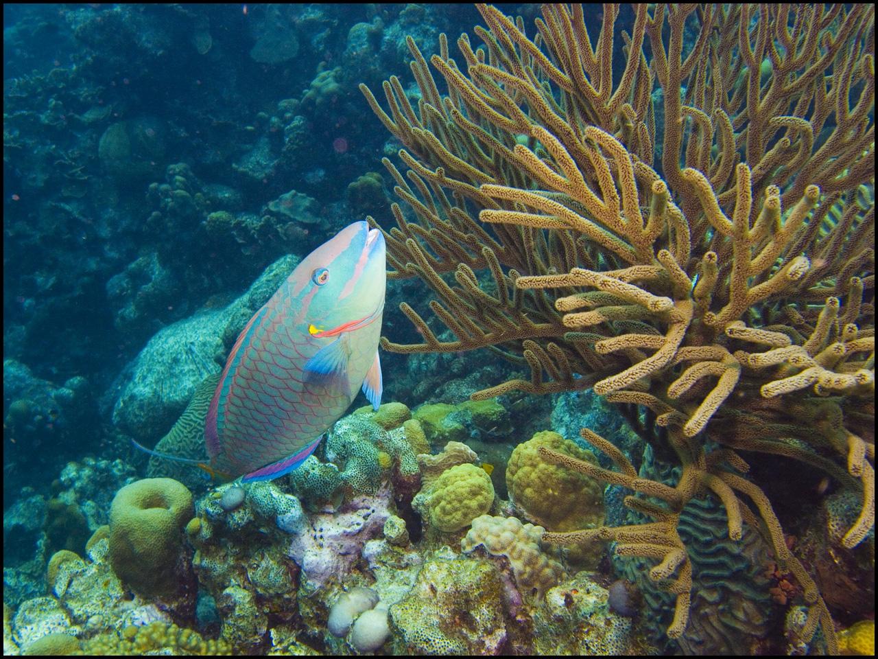Un poisson-perroquet, espèce très importante pour la santé de nos récifs. Crédit : Waywuwei