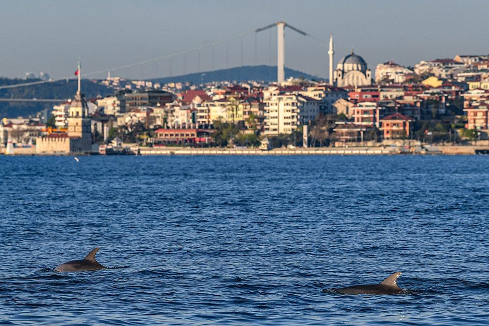 Les dauphins profitent du Bosphore, anormalement calme grâce au confinement