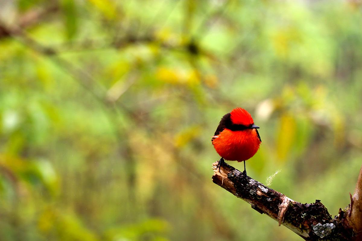 Naissance aux Galapagos de six oiseaux d'une espèce menacée