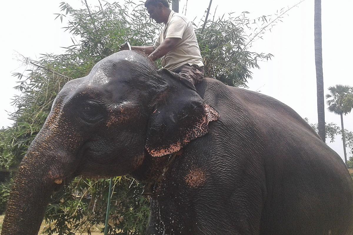 Inde: il lègue des terres à ses deux éléphants domestiqués