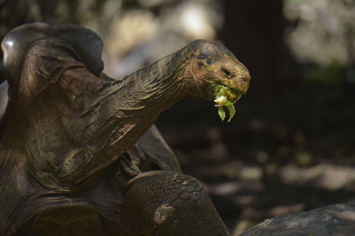 Galapagos: Diego, la tortue qui a sauvé son espèce, de retour sur son île