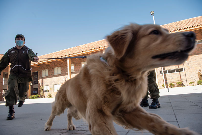 Chili: des chiens dressés pour détecter les malades du Covid-19