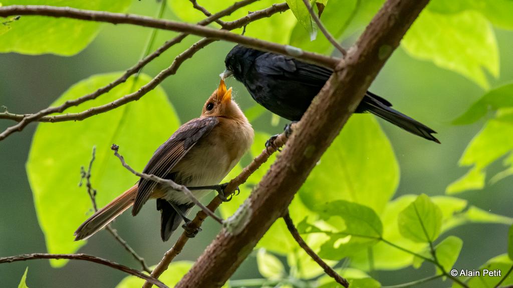 Un jeune Monarque (tout duveteux en jaune) réclame un insecte à grignoter à l'un de ses parents.