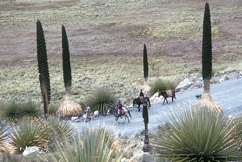 Lorsqu'elles sont jeunes, les puyas forment des touffes vertes, à la manière des agaves. Elles mettent cent ans à fleurir et meurent ensuite.