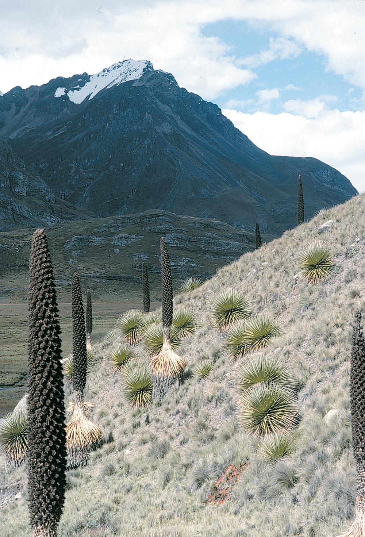 Dans le paysage aride et désolé de la haute puna, seules grandissent ces étranges Broméliacées.