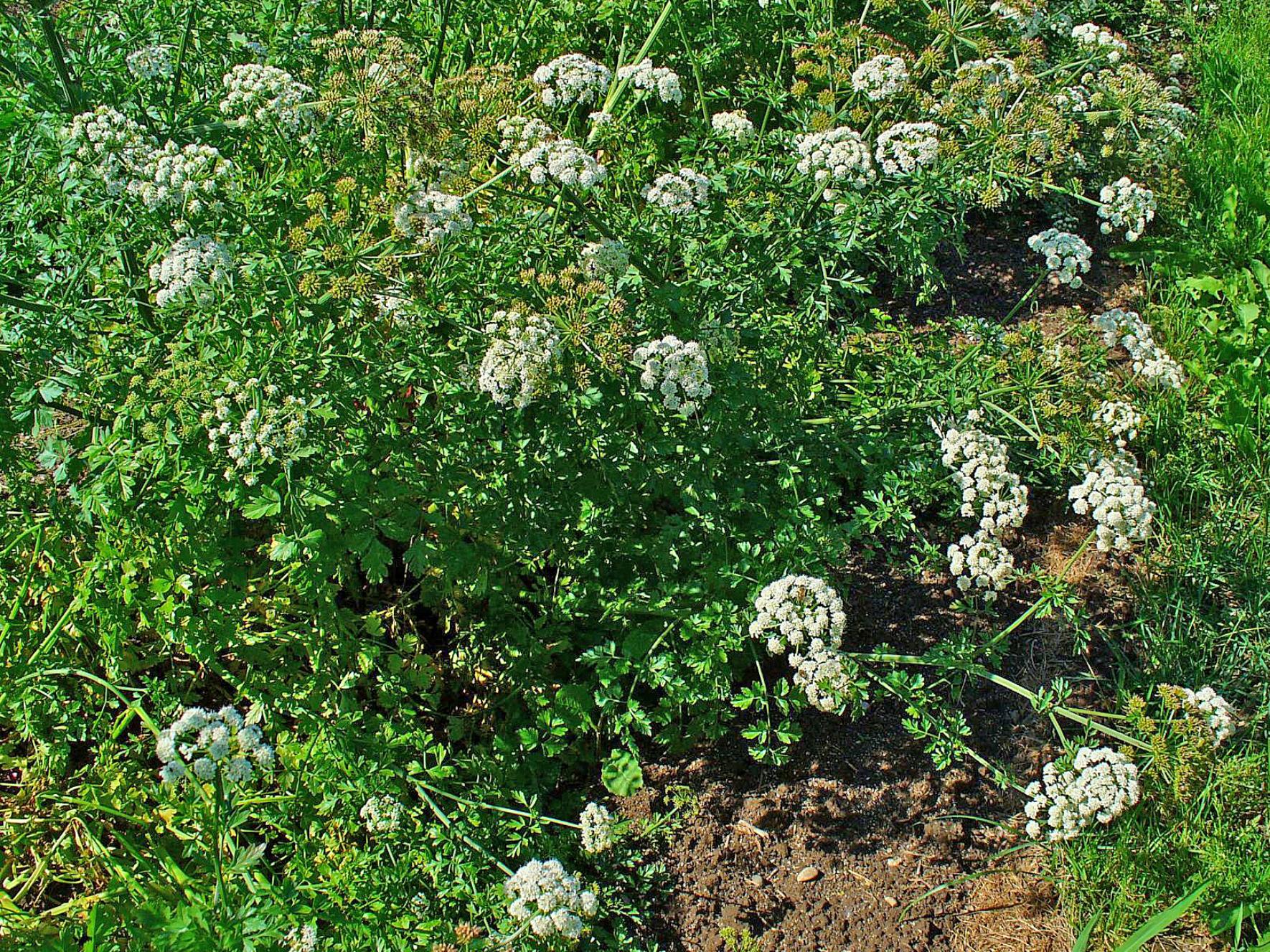 L'œnanthe safranée est une plante de même famille que la ciguë.