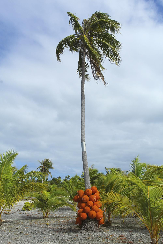 Non, cette année, les cocos ne se portent pas en bas des troncs de cocotiers. Il ne s'agit que de bouées d'anciennes fermes perlières.