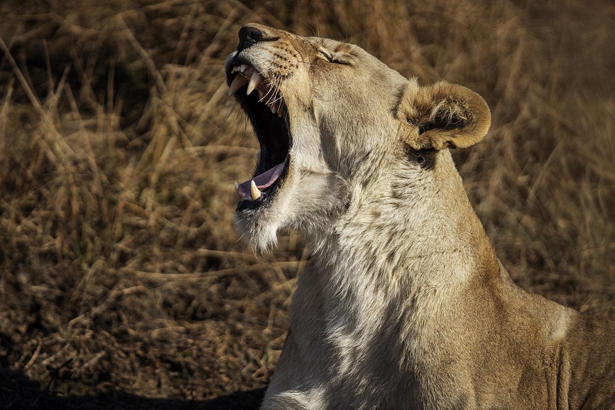 Un éleveur de lions sud-africain tué par un de ses félins