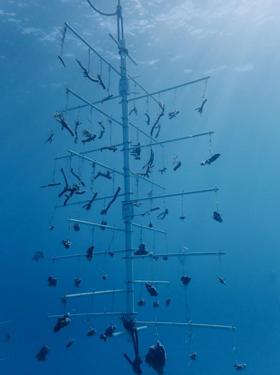 Biomim4Coral : une nurserie de corail sans plastique