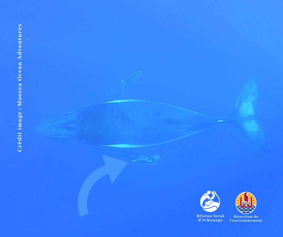 On aperçoit un «poito» accroché à la nageoire pectorale gauche de la baleine. Crédit Moorea Ocean Adventures