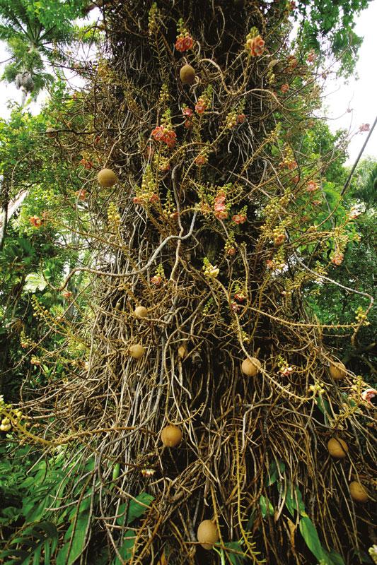 """Une vue générale de l'invraisemblable et inextricable tronc d'un """"canonball tree"""" (Couroupita guianensis), arbre originaire d'Amérique du sud, toujours très spectaculaire dans les parcs et jardins. En français, on l'appelle tout simplement """"boulets de canon""""."""