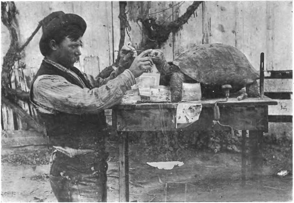 Rollo Beck en plein travail de naturalisation d'une tortue des îles Galápagos.