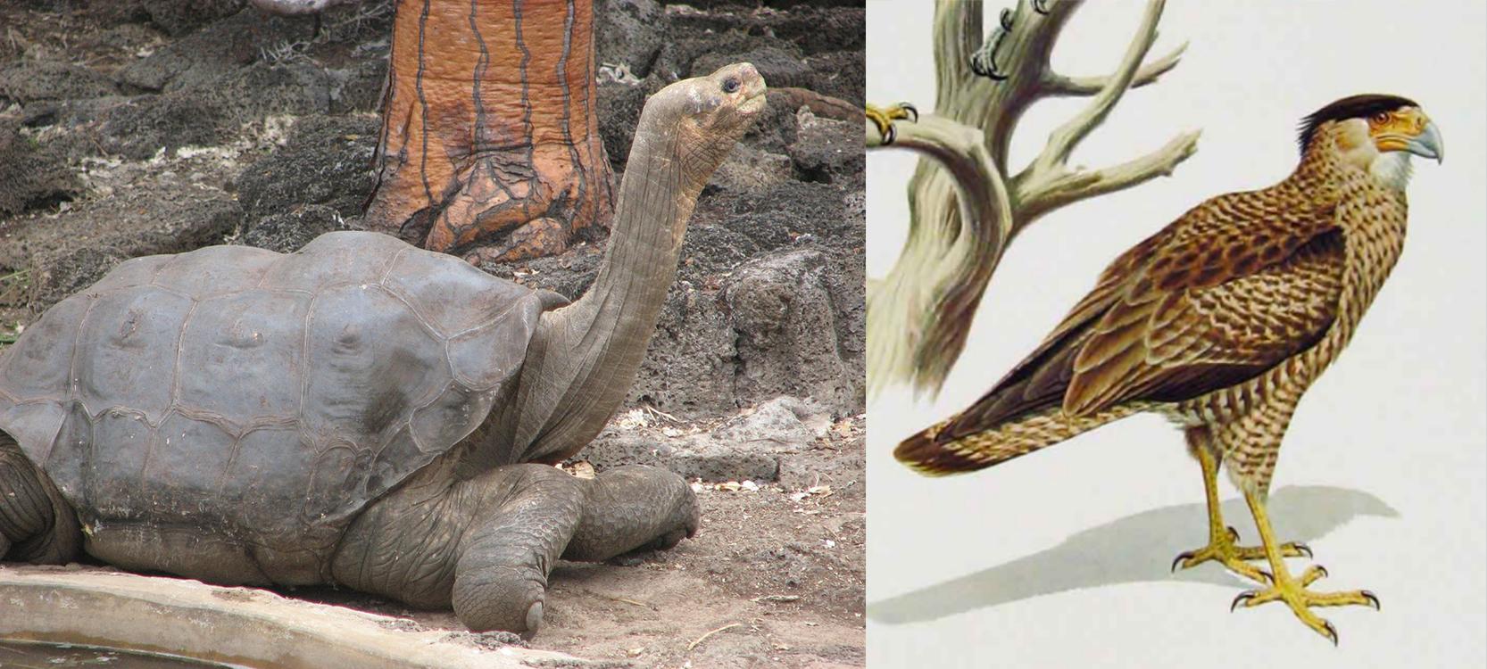 Photo de gauche : Lonesome George, dernière tortue de cette espèce aux Galapagos, Rollo ayant sacrifié les trois autres spécimens encore vivants. Aux dernières nouvelles, des tortues sauvages de cette espèce justement auraient été trouvées récemment sur l'île Pinta...  Photo de droite : Le caracaras de Guadalupe ; Rollo Beck admit, quelques années après en avoir capturé un, qu'il savait que c'était le dernier spécimen vivant de cette espèce.