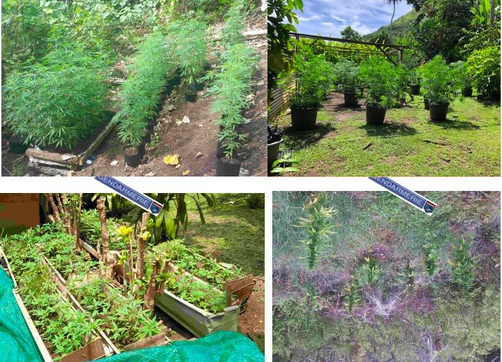 922 plants de paka saisis à Maupiti