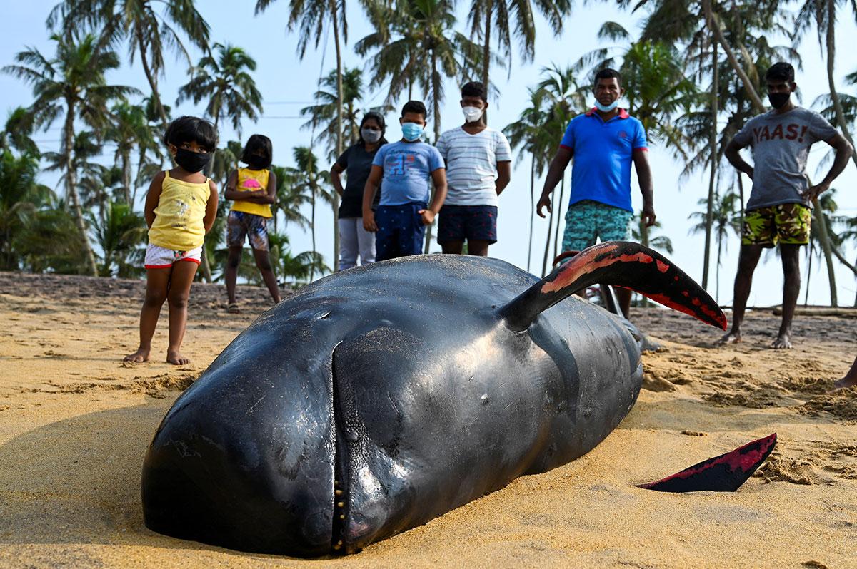 """Quelque 120 """"dauphins-pilotes"""" sauvés au Sri Lanka où ils avaient échoué"""