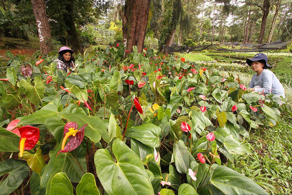 """""""Plante-démie"""", ou l'inquiétante ruée sur les plantes vertes aux Philippines"""