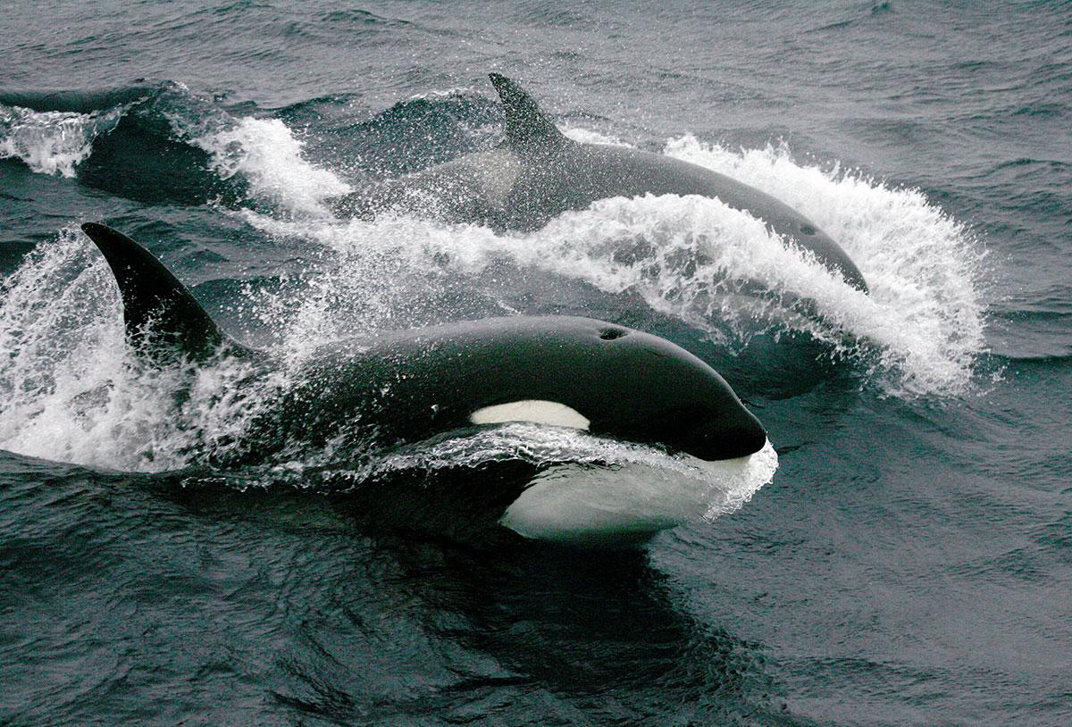 Les orques incriminés dans la disparition du grand requin blanc au large du Cap