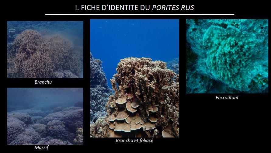 Ces coraux pondent dans toutes les îles de la Société en même temps