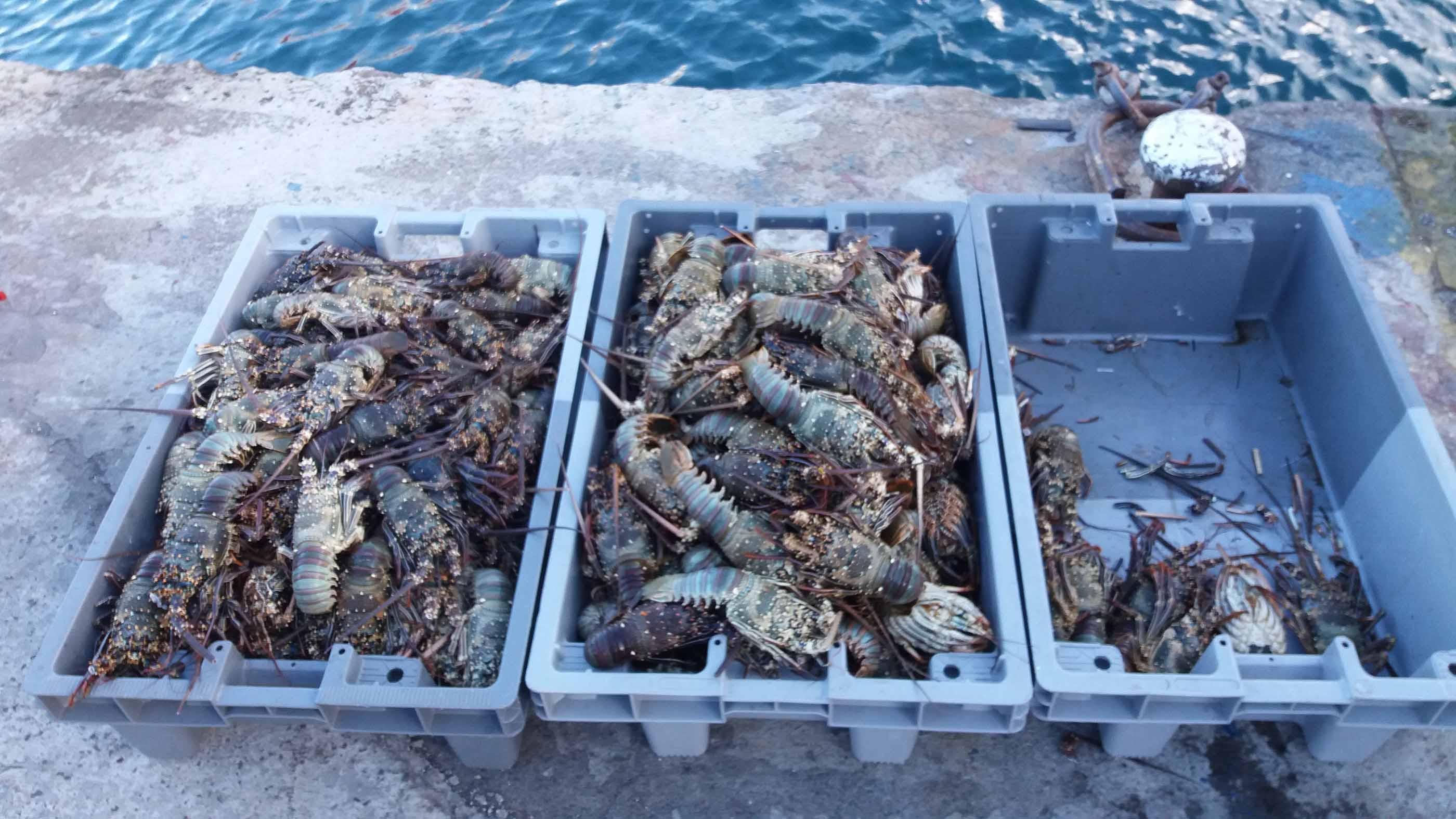 90 kilos de langoustes saisis au port de Papeete