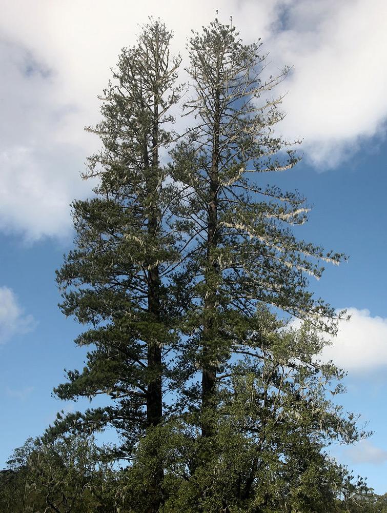 Le pin de Norfolk (Araucaria heterophylla) permettait à la marine de disposer de mâts d'une cinquantaine de mètres de hauteur (photo Berknot).