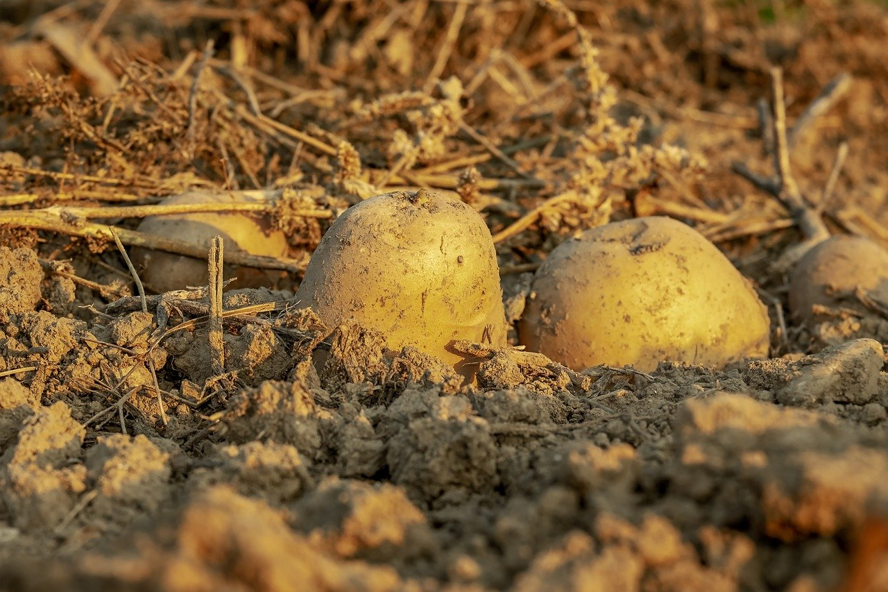Des restes humains? Non, une pomme de terre, conclut la police britannique