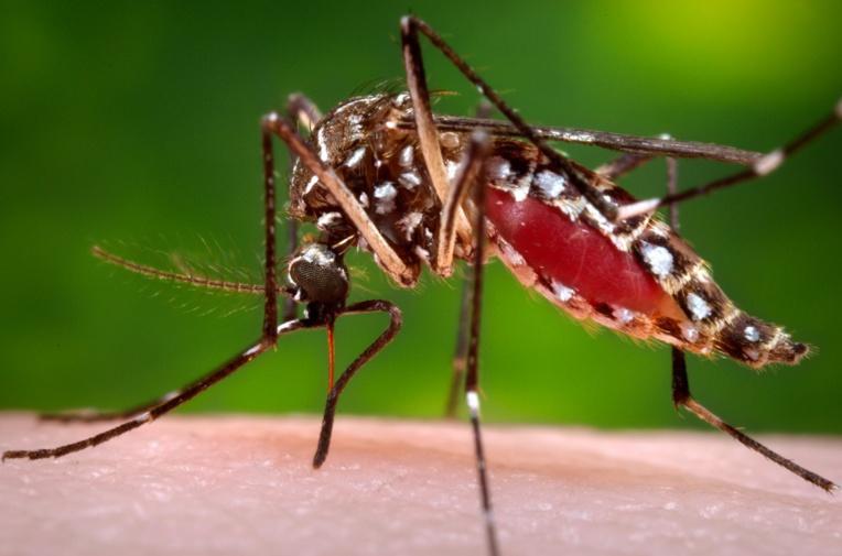 Des moustiques antimoustiques