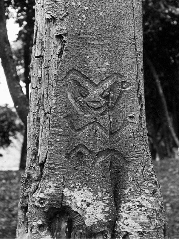 Une des traditions des Morioris était de graver leurs symboles cultuels et religieux sur le tronc des arbres.