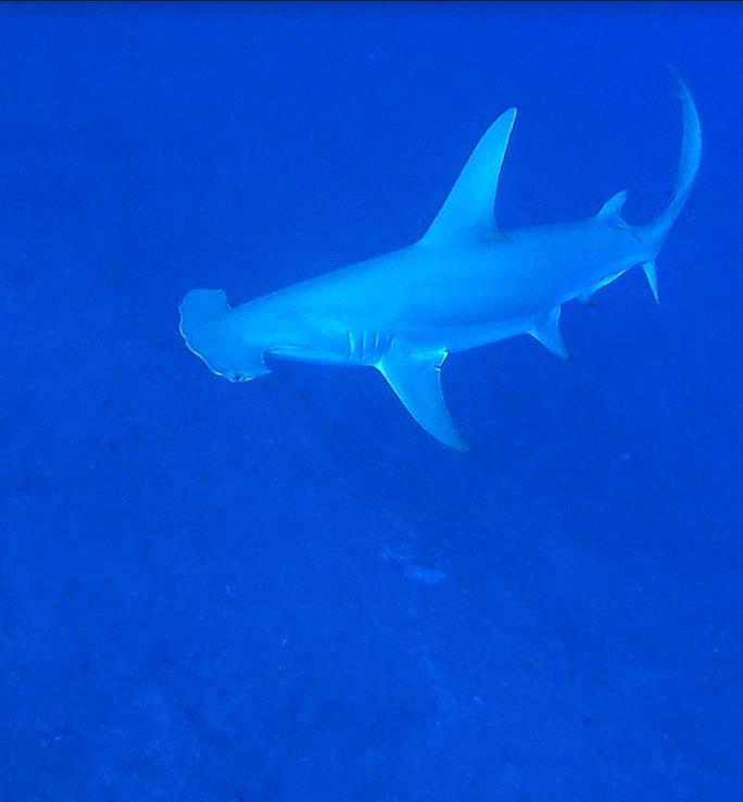 """""""On ne peut pas protéger le Grand requin-marteau sans le connaître"""""""