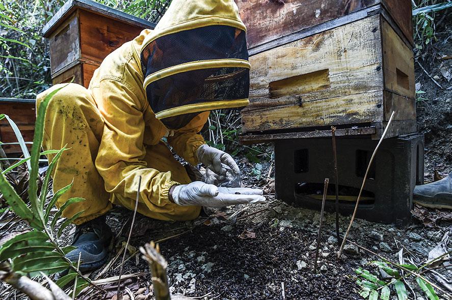 Un agrotoxique interdit en Europe décime les abeilles en Colombie