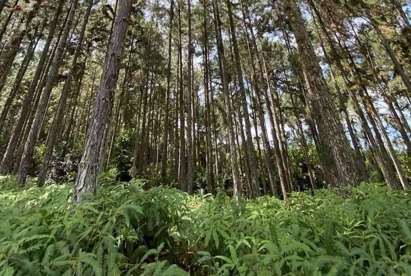 Un texte pour exploiter les forêts privées de pin des Caraïbes en Polynésie