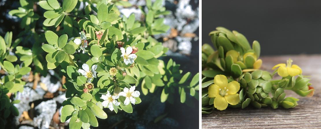 Le miki miki (Pemphis acidula) (à gauche) reconnaissable à ses petites fleurs blanches. Le u'u (Suriana maritima) (à droite) est un concurrent sérieux du miki miki ; ses fleurettes sont toujours jaune citron.
