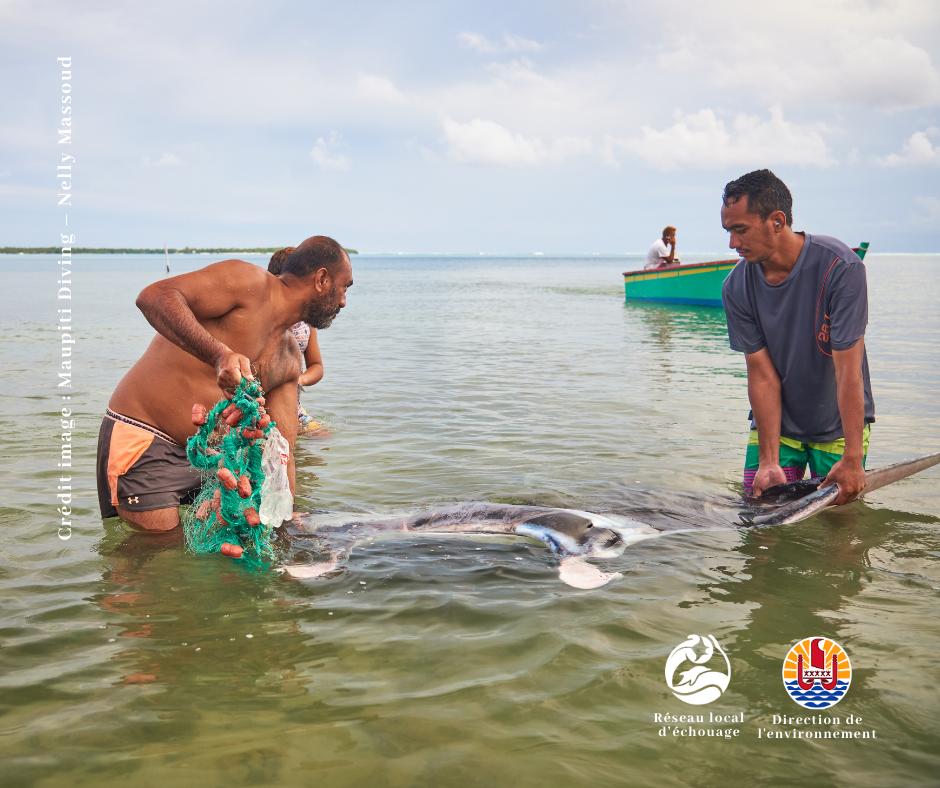 Cette raie manta fréquentait le lagon de Maupiti depuis 2018.