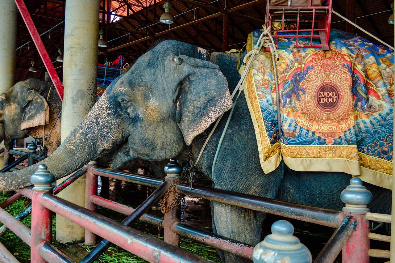 Russie: dispute d'éléphants en plein cirque, une enquête ouverte
