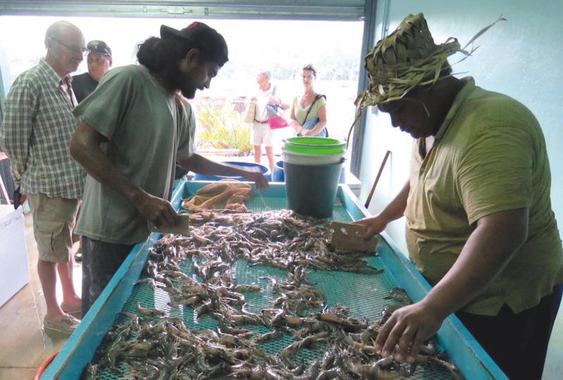 Aquaculture : La crevette en tête, le paraha peue malade