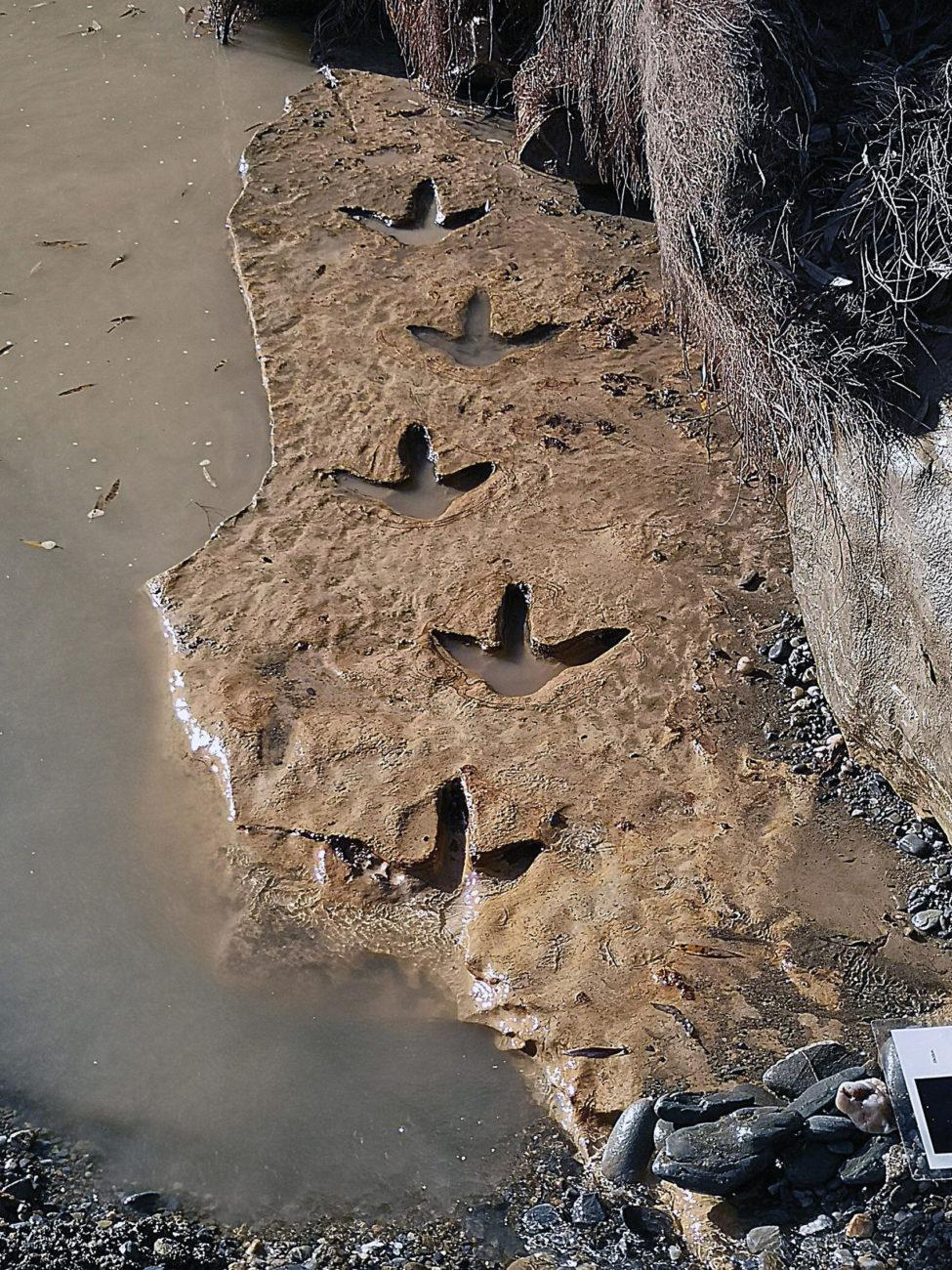 La découverte d'empreintes de moas est toujours une grande affaire médiatique en Nouvelle-Zélande. On en trouve parfois en bord de rivière, dans des terrains qui furent vaseux à une époque et qui ont complètement durci au fil du temps.