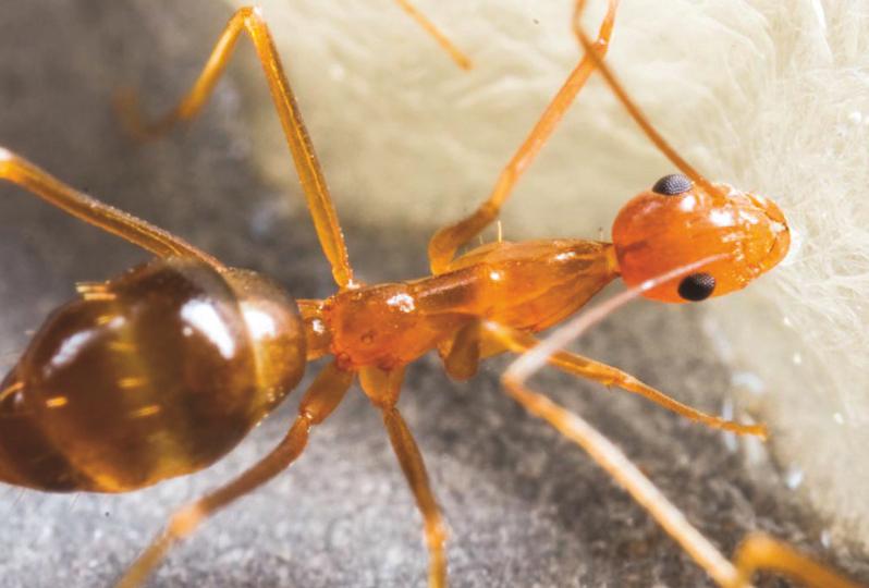 La fourmi folle jaune, qui s'est installée à Hiva Oa. (Crédit photo Thibault Ramage)