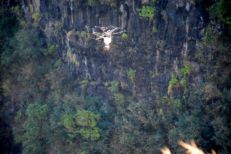La falaise de Maruapo débarrassée de la fourmi de feu