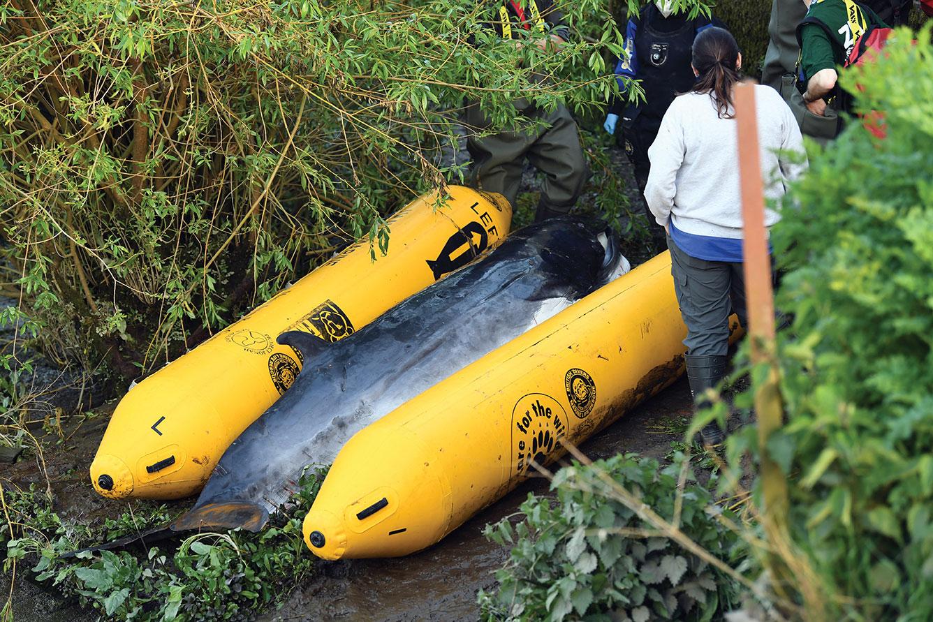 Un baleineau égaré dans la Tamise a été euthanasié