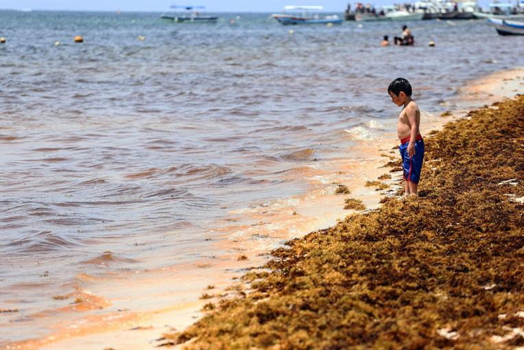 En Guadeloupe, la valorisation des sargasses, de l'enjeu sanitaire à l'enjeu économique