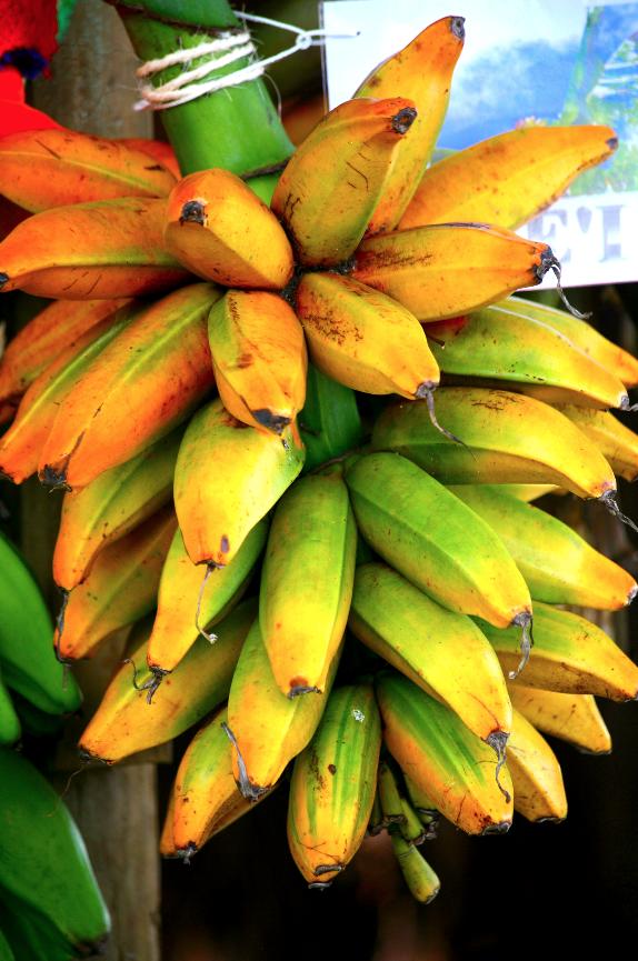 En introduisant un insecte carnivore, Harrison Smith parvint à sauver les fe'i de Tahiti, menacés de disparition à cause d'un parasite, le charançon des bananiers (Cosmopolites sordidus).