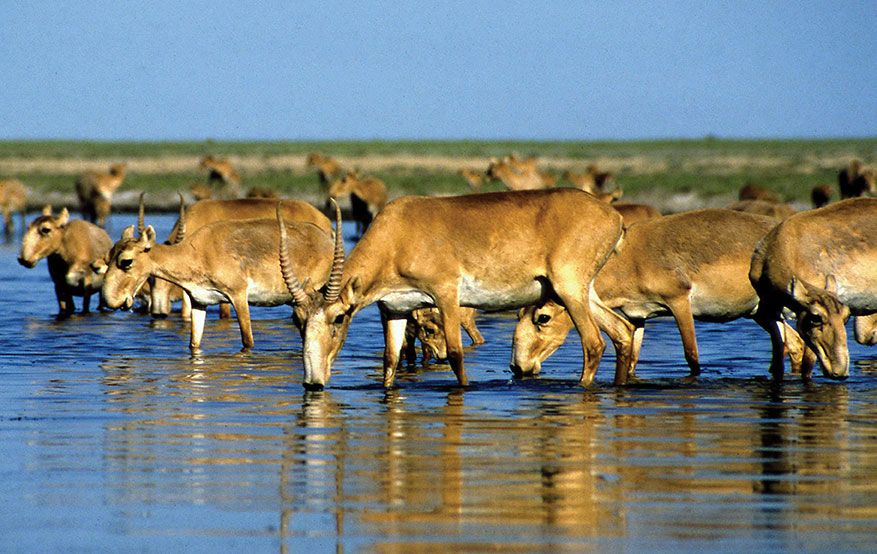 Kazakhstan: 350 antilopes saïga menacées tuées par la foudre