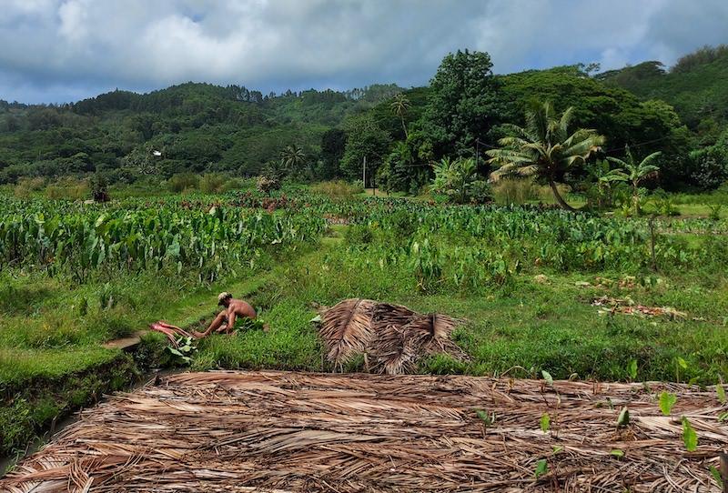 La culture traditionnelle du taro est une forme de permaculture, même si les Rurutu ne la considèrent pas comme telle.