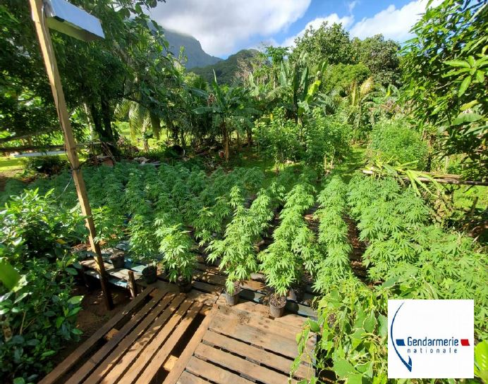 520 plants de paka saisis à Tumaraa