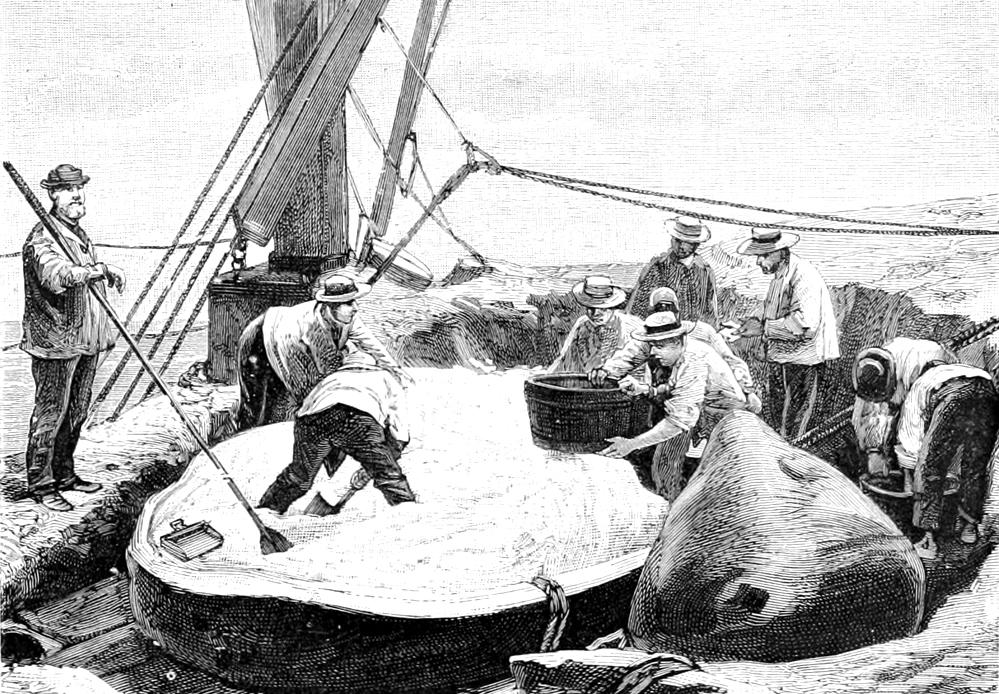 Contre des citrouilles et des pommes de terre, Watkins échangeait des dollars et surtout du rhum, boisson toujours abondante à bord des baleiniers.