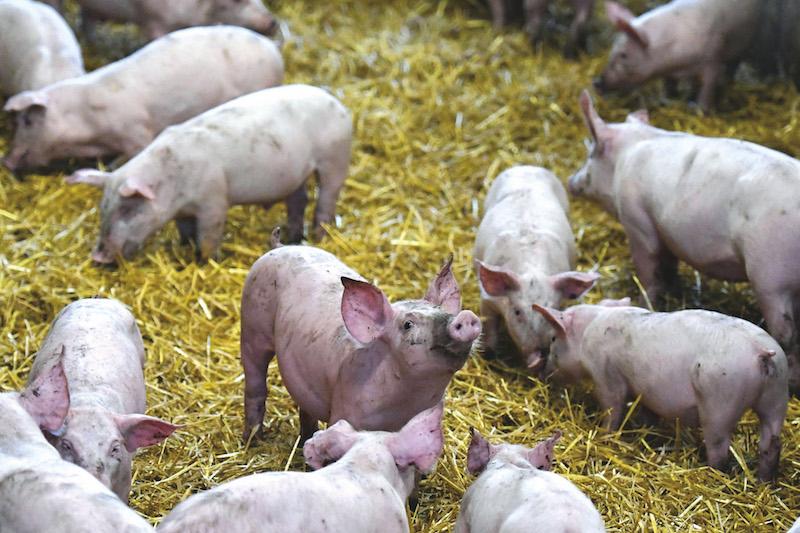 Pas de quartier pour la porcherie de la Presqu'île