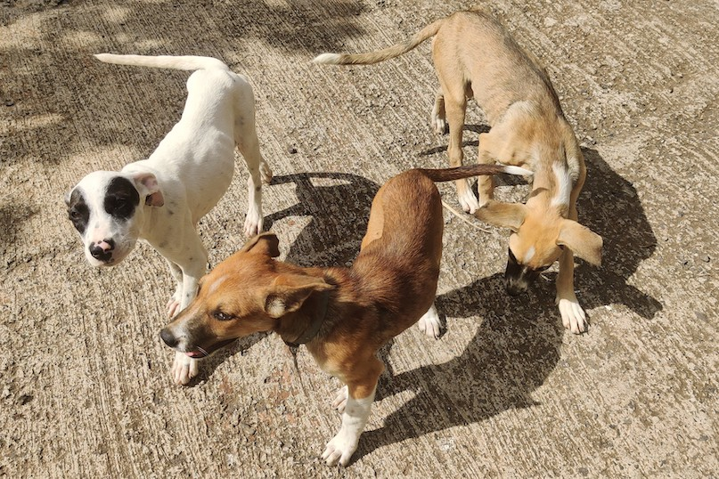 Actuellement, aucune structure n'existe pour lutter contre la prolifération des chiens errants aux Marquises.