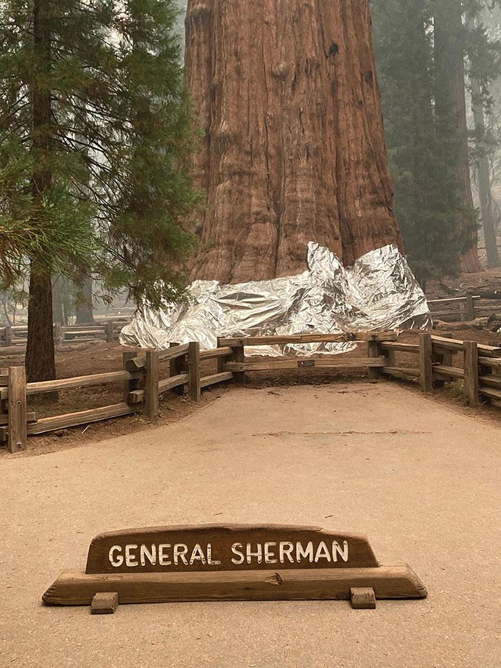 USA: des séquoias emballés dans de l'alumunium pour les protéger des incendies