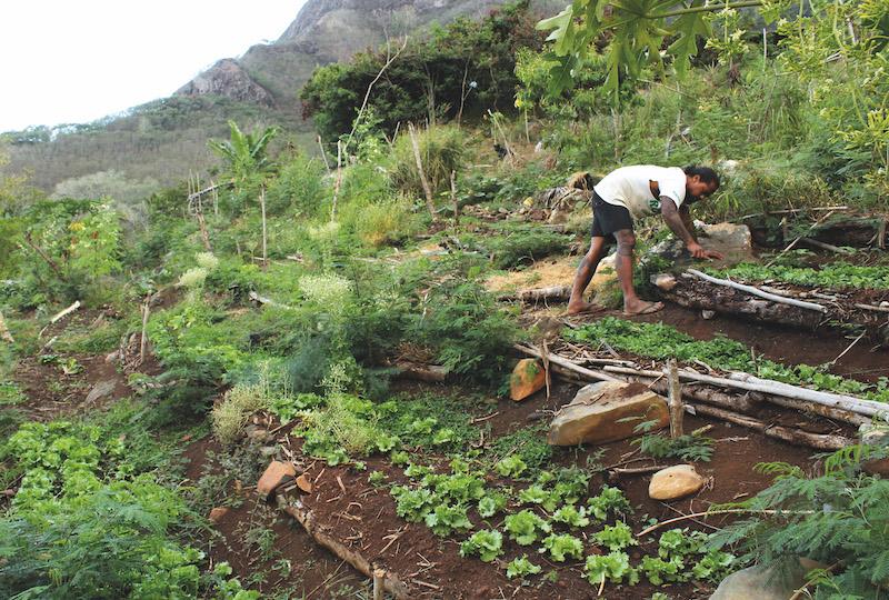 Toutes les exploitations agricoles de Ua Pou sont naturelles, et n'utilisent pas de produits chimiques. Jean-Louis est le premier à être certifié bio.